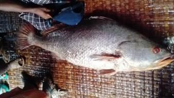 ২৮ কেজি ওজনের ভোল মাছ বিক্রি হল প্রায় ৫ লাখ টাকায়